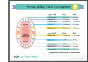 What are baby teeth?